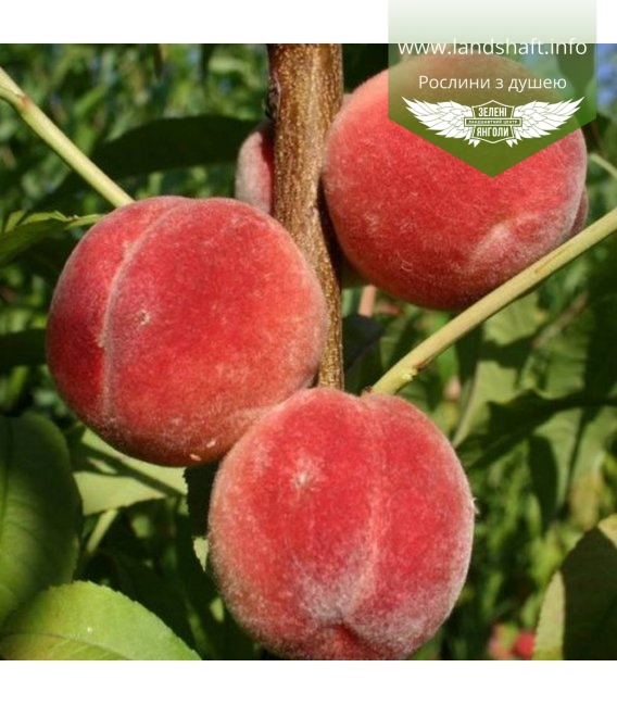 Prunus persica 'Kievskiy Ranniy', Персик 'Киевский ранний'
