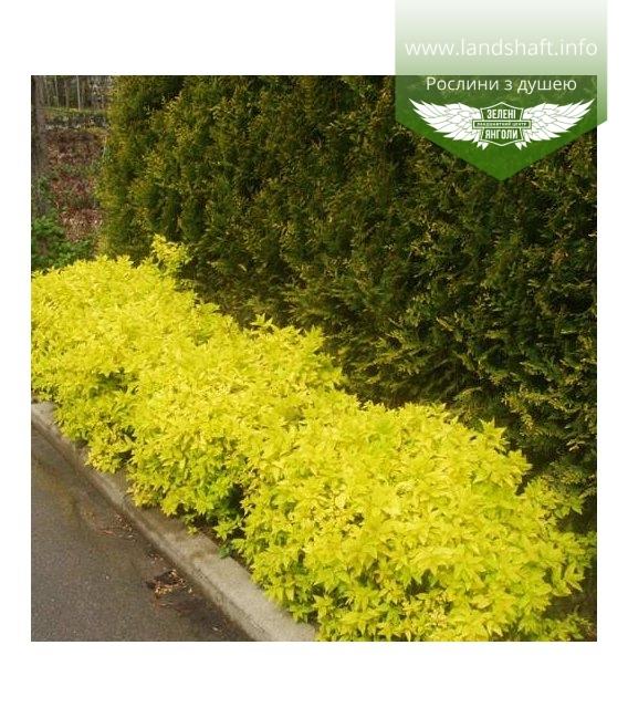 Spiraea japonica 'Golden Princess', Спірея японська 'Голден Прінцес'