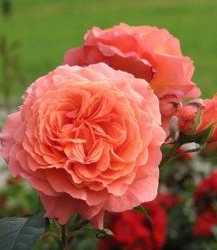 Rosa 'Belvedere', Роза Шраб 'Бельведер'