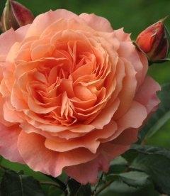 Rosa 'Belvedere', Троянда 'Бельведер'