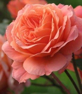 Rosa 'Belvedere', Роза 'Бельведер'