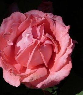 Rosa 'Dee Dee Bridgewater', Троянда плетиста 'Ді Ді Бріджвотер'