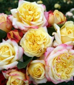Rosa 'Kordes Jubilee', Роза 'Кордес Джубили'