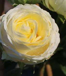 Rosa 'Wedding Piano', Троянда чайно-гібридна 'Веддінг Піано'