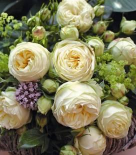 Rosa 'Wedding Piano', Роза 'Веддинг Пиано'