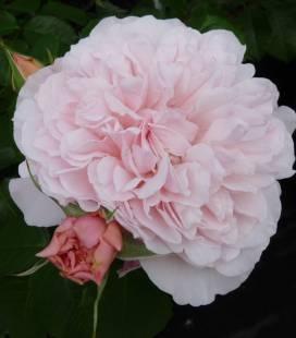 Rosa 'Rose de Tolbiac', Троянда плетиста 'Розе де Толбіак'