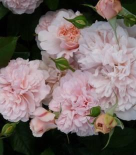 Rosa 'Rose de Tolbiac', Роза 'Розе де Толбиак'