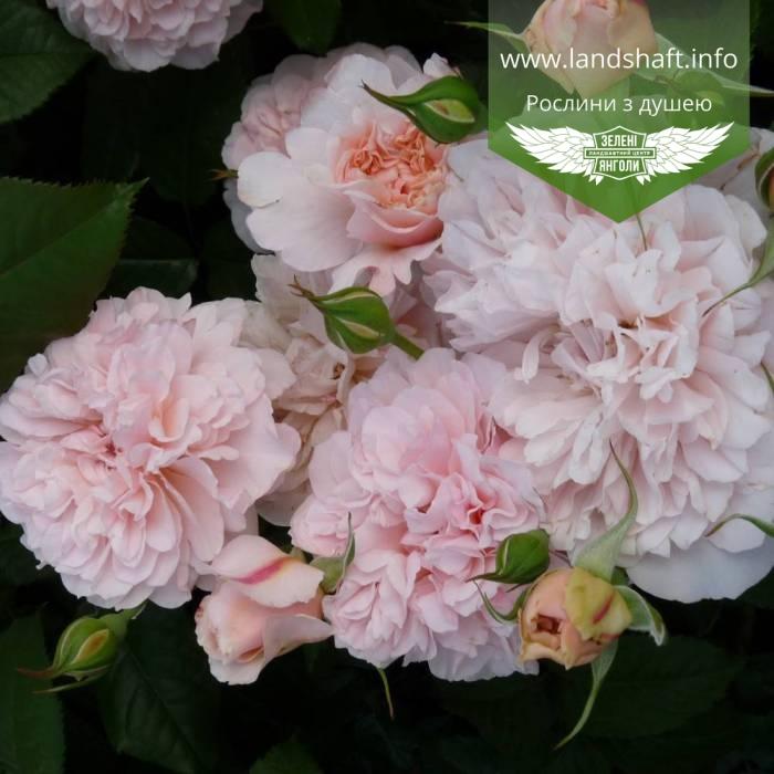 роза де толбиак от кордеса фото этом