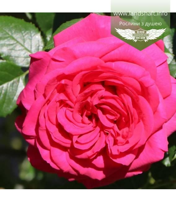 Rosa 'Maritim', Троянда 'Марітім'