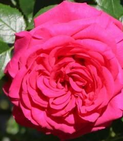 Rosa 'Maritim', Троянда плетиста 'Марітім'