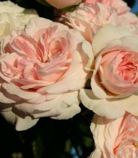 Rosa 'Larissa', Роза 'Ларисса'