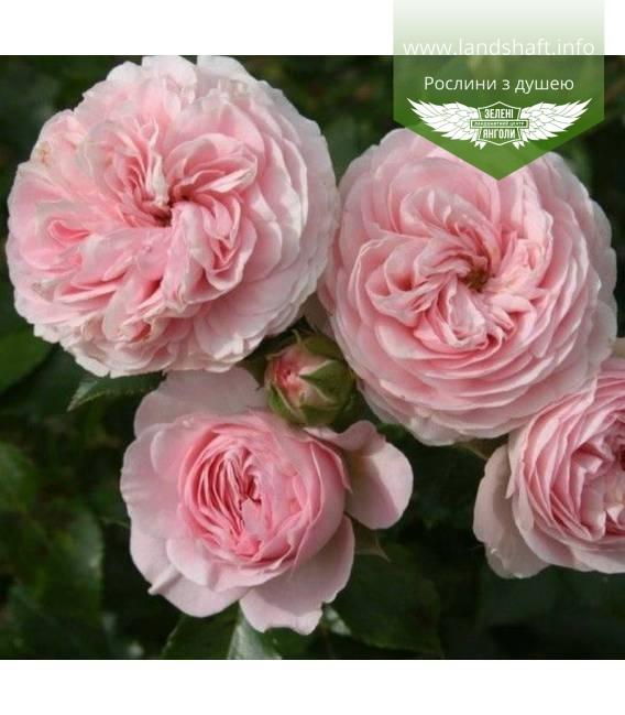 Rosa 'Larissa', Троянда 'Ларісса'