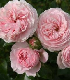 Rosa Floribunda 'Larissa', Троянда флорібунда 'Ларісса'