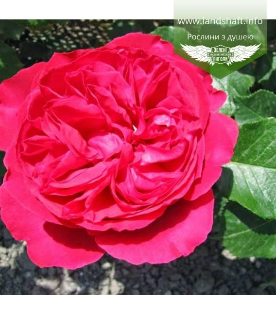 Rosa 'Meiland Cvetelina Romantica', Троянда 'Мейланд Цветеліна Романтіка'