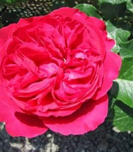 Rosa 'Meiland Cvetelina Romantica', Троянда Шраб 'Мейланд Цветеліна Романтіка'
