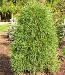 Pinus sylvestris 'Globosa Viridis', Сосна обыкновенная 'Глобоза Виридис'