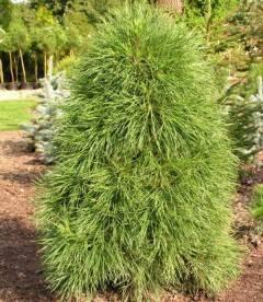 Pinus sylvestris 'Globosa Viridis', Сосна звичайна 'Глобоза Вірідіс'