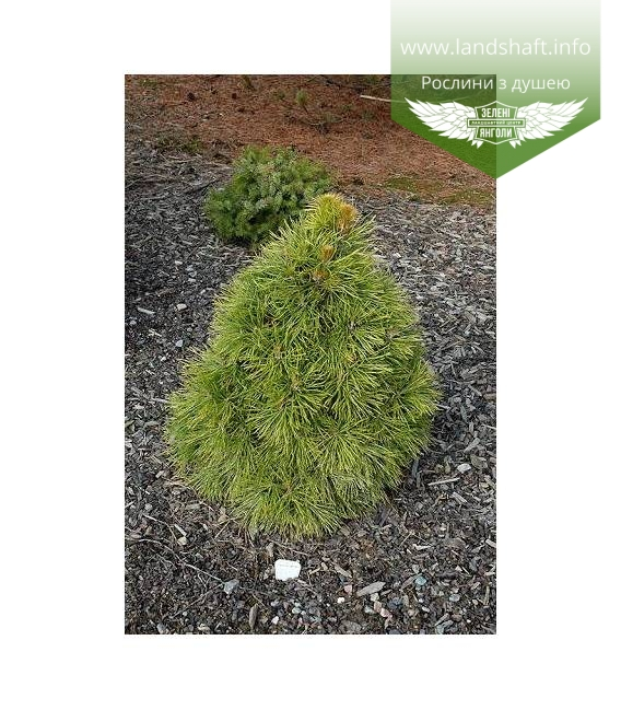 Pinus sylvestris 'Moseri' Сосна звичайна 'Мозері'
