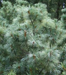 Pinus parviflora 'Glauca', Сосна мелкоцветковая 'Глаука'