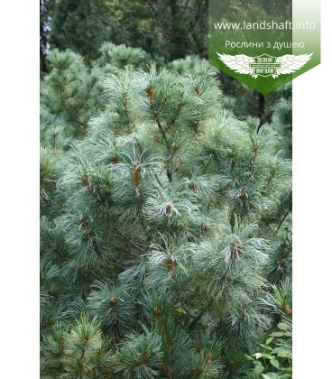 Pinus parviflora 'Glauca', Сосна дрібноквіткова 'Глаука'