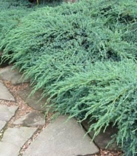 Juniperus squamata 'Blue Carpet', Ялівець лускатий 'Блу Карпет'