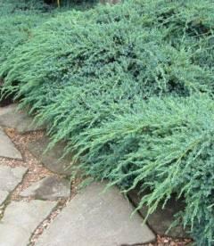 Juniperus squamata 'Blue Carpet', Можжевельник чешуйчатый 'Блу Карпет'