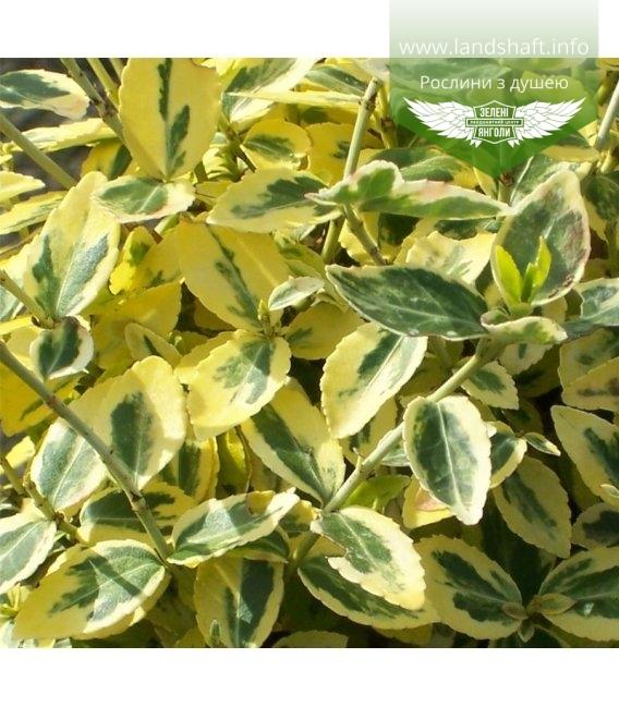 Euonymus fortunei 'Emerald 'n Gold', Бересклет Форчуна 'Емералд Енд Голд'