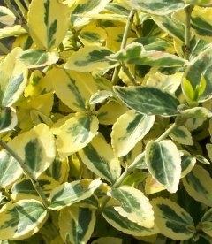 Euonymus fortunei 'Emerald 'N' Gold', Бересклет Форчуна 'Эмералд н Голд'