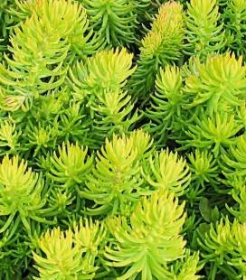 Sedum hybridum 'Winter Lemon', Очиток 'Вінтер Лемон'
