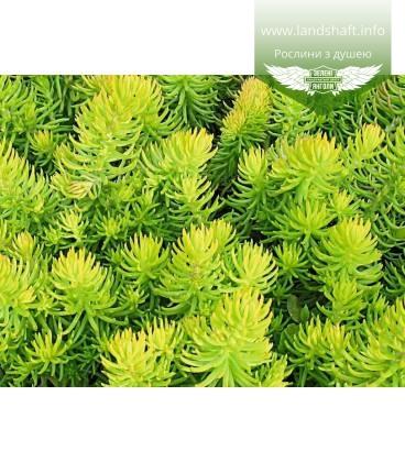 Sedum hybridum 'Winter Lemon', Очиток 'Винтер Лемон'
