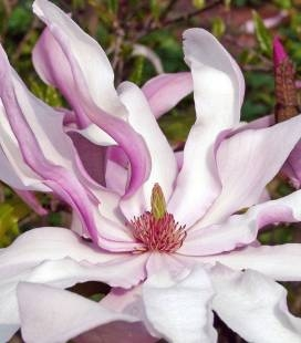 Magnolia hybrida 'Betty', Магнолия гибридная 'Бетти'