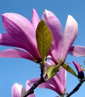 Magnolia hybrida 'Betty', Магнолия гибридная 'Бетти'