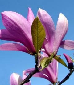 Magnolia hybrida 'Betty', Магнолія гібридна 'Беті'