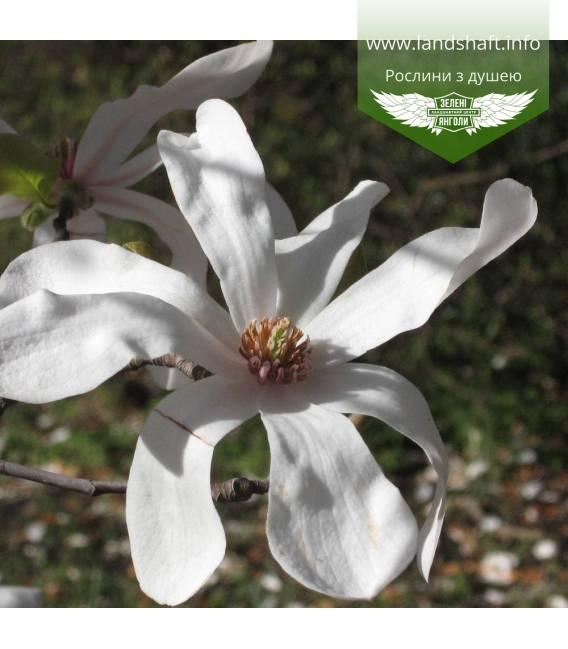 Magnolia loebneri 'Merrill', Магнолия Лебнера 'Меррилл'