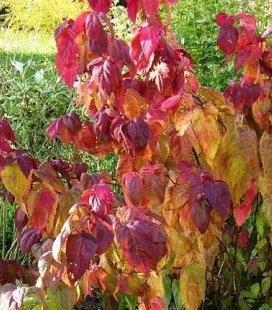 Spiraea japonica 'Macrophylla', Спирея японская 'Макрофилла'