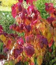 Spiraea japonica 'Macrophylla', Спірея японська 'Макрофіла'