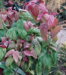 Spiraea japonica 'Macrophylla' Спирея японская