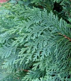 Chamaecyparis lawsoniana 'Alumii' Кипарисовик Лавсона