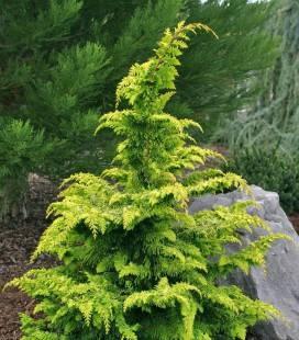 Chamaecyparis obtusa 'Fernspray Gold', Кипарисовик туполистный 'Фернспрей Голд'