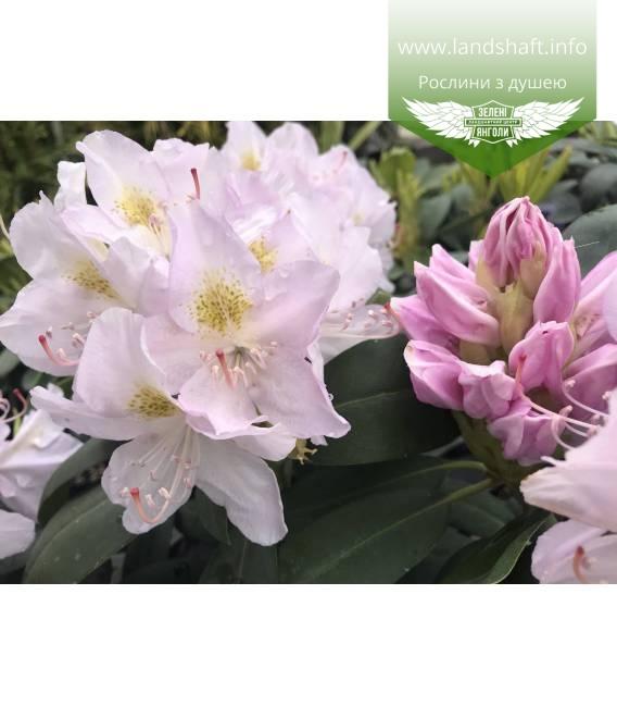 Rhododendron catawbiense 'Album', Рододендрон катевбинський 'Альбум'