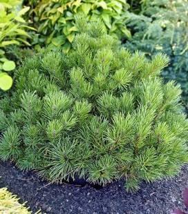Pinus mugo 'Pumilio', Сосна горная крючковатая