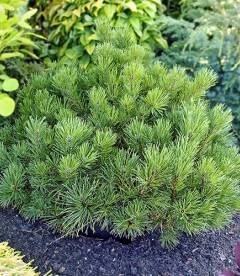 Pinus mugo var. pumilio, Сосна гірська 'Пуміліо'