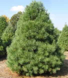 Pinus strobus, Сосна веймутова