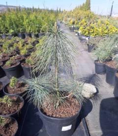 Pinus strobus, Сосна Веймутова купити з доставкою по Україні