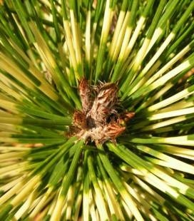 Pinus densiflora 'Oculus Draconis', Сосна густоквіткова 'Окулус Драконіс'