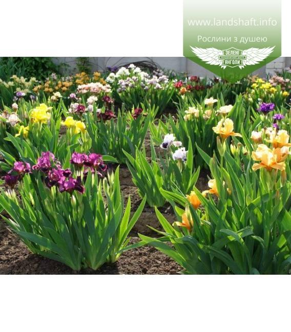 Iris dwarf, Ирис карликовый