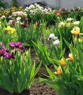 Iris dwarf, Півники карликові (Ірис)