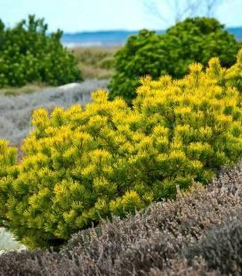Pinus mugo 'Winter Gold', Сосна горная 'Винтер Голд'