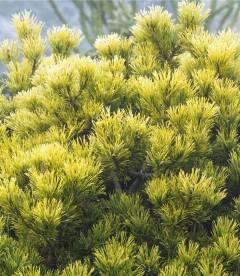 Pinus mugo 'Winter Gold' Сосна горная Винтер Голд - купить с доставкой по Украине