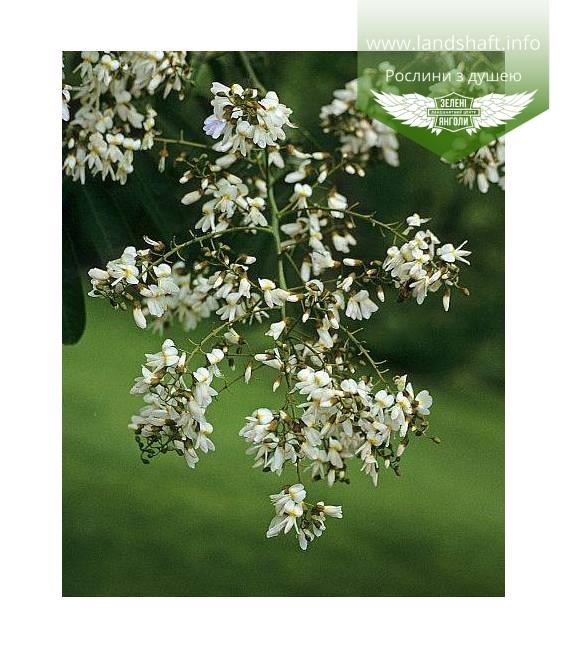 Toona sinensis, Туна китайська купити з доставкою по Україні